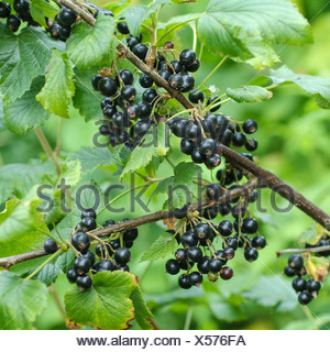 European black currant (Ribes nigrum 'Ometa', Ribes nigrum Ometa), cultivar Ometa - Stock Photo