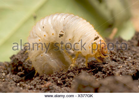 common cockchafer, maybug (Melolontha melolontha), cockchafer grub, Germany - Stock Photo