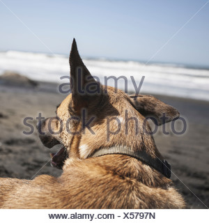 A mixed breed dog on the beach in Discovery Park Seattle - Stock Photo