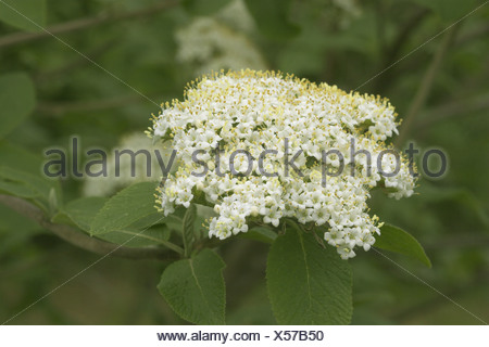 wayfaring-tree (Viburnum lantana), inflorescence - Stock Photo