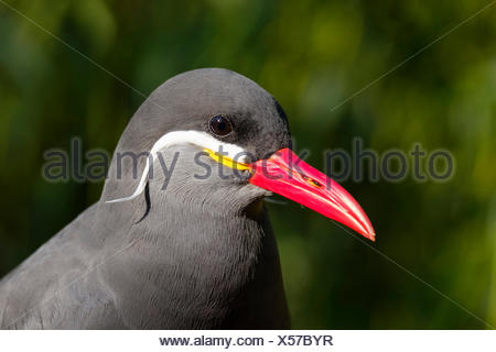 Inca tern (Larosterna inca), portrait, captive - Stock Photo