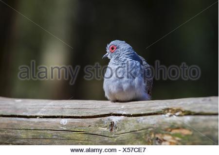 diamond dove Bird Park Marlow - Stock Photo