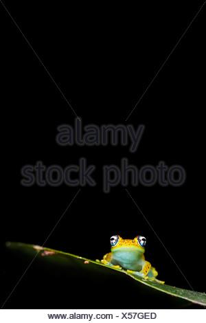 Tree Frog, Rainforest understorey, Mantadia National Park, Madagascar. - Stock Photo
