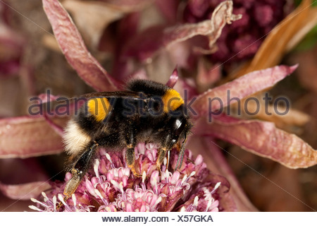white-tailed bumble bee (Bombus lucorum), on a flower of butterburr, Germany - Stock Photo