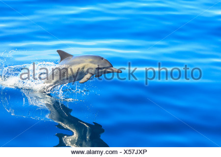 Single Long-beaked Common Dolphin (Delphinus capesis) jumping out of ocean, San Diego, California, USA - Stock Photo