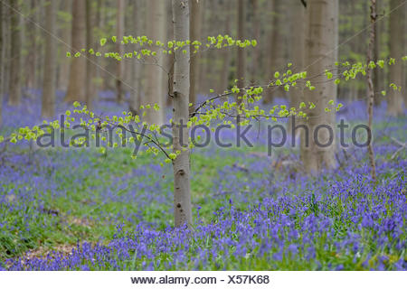 spring at hallerbos with blooming bluebells, halle, flemish brabant province, belgium - Stock Photo