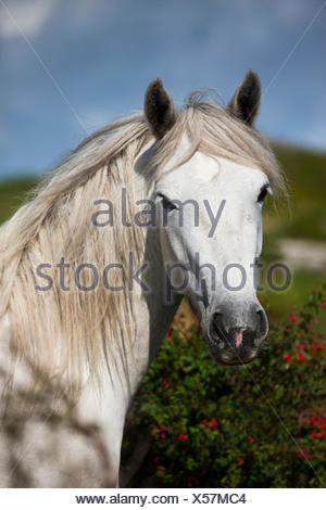 Connemara pony stallion, Connemara, Galway, Ireland - Stock Photo