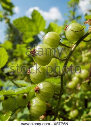 Rote Johannisbeere (Ribes rubrum), unreife Fruechte am Strauch, Deutschland   northern red currant (Ribes rubrum), immature frui - Stock Photo