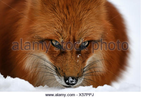 Red fox fox predator canids crafty European fox Vulpes vulpes foxes red fox winter coat winter skin snow winter animal anima - Stock Photo