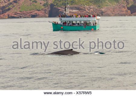 Humpback Whale, (Megaptera novaeangliae), and whale watchers, Witless Bay Ecological Reserve, Newfoundland, Canada - Stock Photo