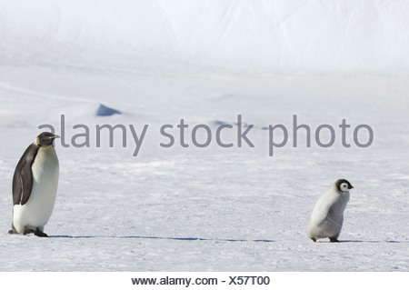 An adult Emperor penguin watching over a baby chick on the ice on Snow Hill island - Stock Photo