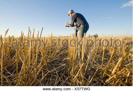 farmer in a field of grain stubble near Winnipeg, Manitoba, Canada - Stock Photo