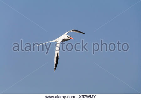 Red-billed Tropic Bird (Phaethon aethereus), adult in flight, Iles des Madeleines, Dakar, Senegal - Stock Photo