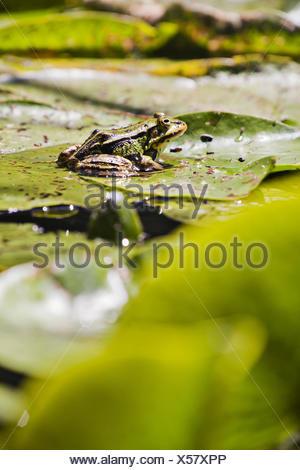 green frog (Pelophylax esculentus) - Stock Photo