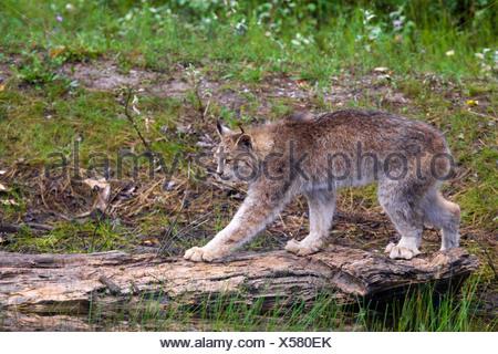 Canadian Lynx walking across a log, Montana, USA - Stock Photo