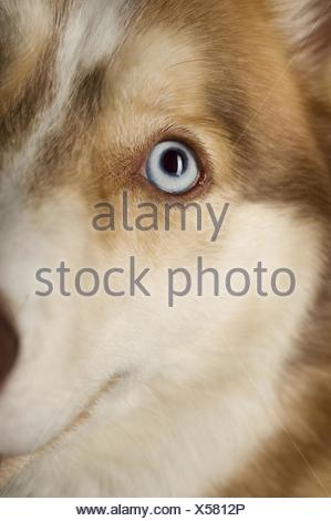 Siberian Husky eye - Stock Photo