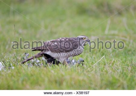Eurasian Sparrowhawk (Accipiter nisus) adult female, feeding, plucking Northern Lapwing (Vanellus vanellus) prey on grazing - Stock Photo