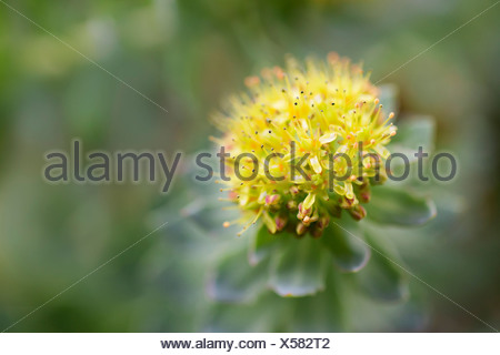 Rose root, Rhodiola rosea, used in herbal medicine. Close up of single flower head, selective focus. - Stock Photo