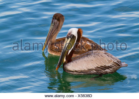 brown pelican (Pelecanus occidentalis), swimming young and adult bird, USA, Florida, Westkueste, Tampa - Stock Photo
