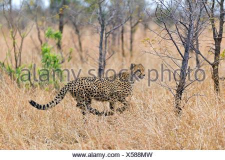 cheetah (Acinonyx jubatus), running through the high dry grass of the savannah looking for prey, South Africa, Krueger National Park - Stock Photo
