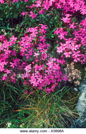 Rock Soapwort, Tumbling Ted (Saponaria ocymoides), blooming, Germany - Stock Photo