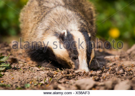European badger (Meles meles) foraging in earth, captive, Hesse, Germany - Stock Photo