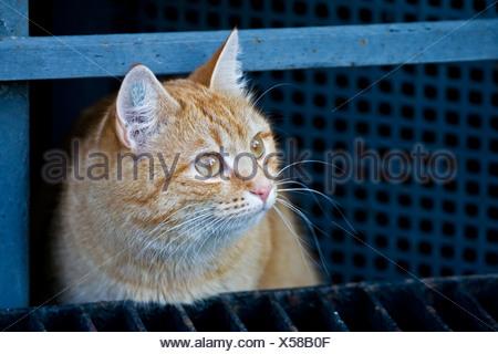 European shorthair cat - Stock Photo