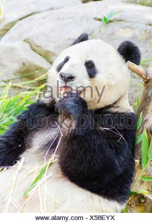 A cute adorable lazy adult giant Panda bear eating bamboo. The Ailuropoda melanoleuca is distinct by the large black patches around its eyes, over the ears, and across its round body. - Stock Photo