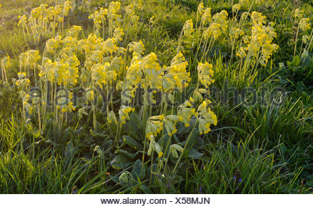Common cowslip (Primula veris), Xanten, Lower Rhine, North Rhine-Westphalia, Germany - Stock Photo