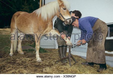 Haflinger horse at blacksmith - Stock Photo