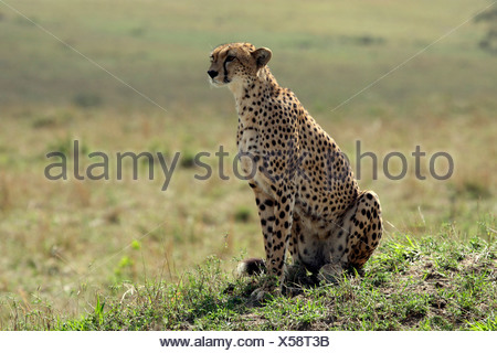 cheetah (Acinonyx jubatus), female sitting in the open savannah, Kenya, Masai Mara National Park - Stock Photo