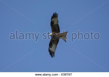 Red Kite - Stock Photo