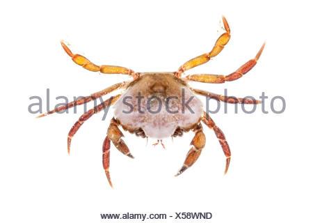 Shore Crab (Carcinus maenas) against white background. From the Isle of Skye, Inner Hebrides, Scotland, UK. - Stock Photo