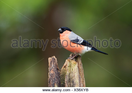 Male Bullfinch Finland - Stock Photo
