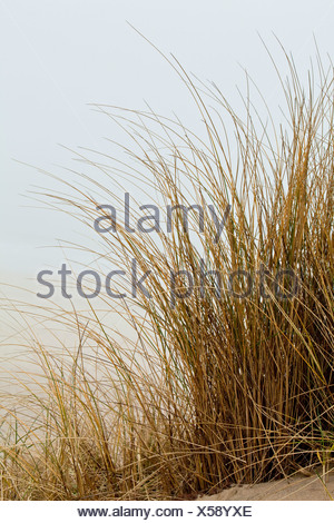 Marram grass in fog, Sylt Island, North Frisia, Schleswig-Holstein, Germany, Europe - Stock Photo