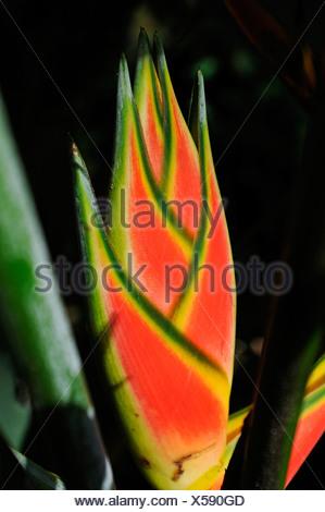 Heliconia wagneriana, Costa Rica, Central America - Stock Photo