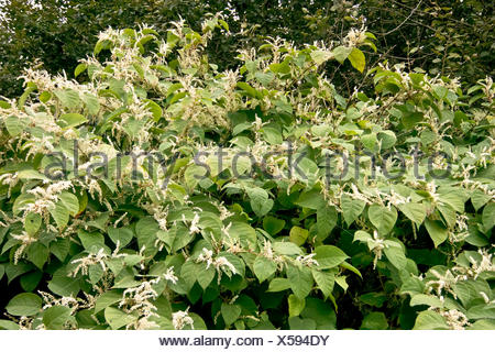 Japanese Knotweed - Fallopia japonica (Polygonaceae) - Stock Photo