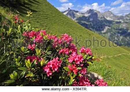 Germany, Bavaria, Allgäu, upper Allgäu, Allgäu alps, Rappenalpental, alpine rose, alpenrose, rhododendron ferrugineum, - Stock Photo