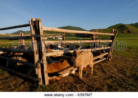 Mongolian Nomad summer camp with animal herd, goats and sheep, round tent, gers or yurts, grasslands near the Khuisiin Naiman - Stock Photo