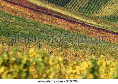 Bunte Felder mit Weinbergen im Herbst während der Weinlese der Weintrauben - Stock Photo