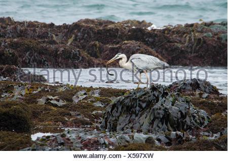 Gray Heron At Dirty Beach - Stock Photo
