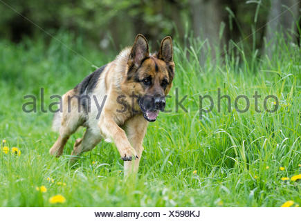 German Shepherd, Alsatian Adult dog running meadow - Stock Photo