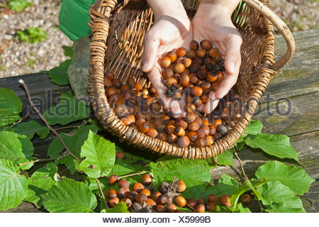 Common hazel (Corylus avellana), mature nuts collected in a basket, Germany - Stock Photo