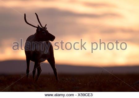 European reindeer, European caribou (Rangifer tarandus tarandus), half in evening light, Sweden, Vaesterbotten - Stock Photo