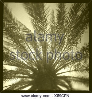 Oman, Muscat, Palm tree from below - Stock Photo