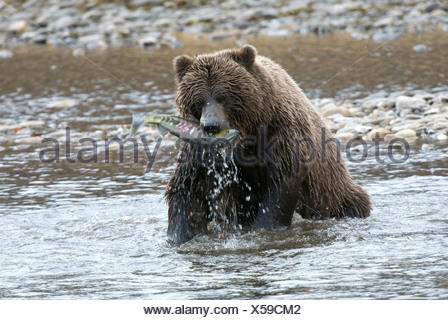 Wild Grizzly bear catching chum or dog salmon from Fishing Branch River in early winter. Fishing Branch Ni'iinlii'njik Park Yuko - Stock Photo