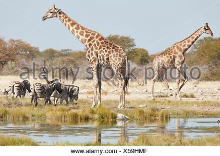 Angolan giraffes, Giraffa giraffa angolensis, and Burchell's zebra, Equus quagga burchellii, standing in grassland near watering hole. - Stock Photo