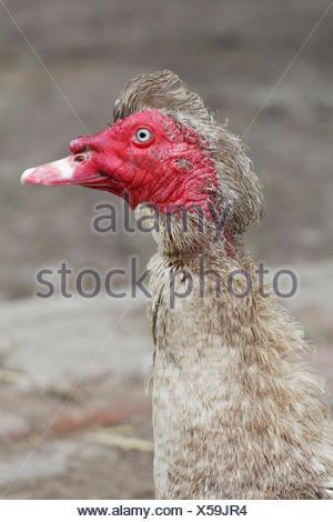 Muscovy Duck (Cairina moschata), Knittkuhl, Düsseldorf, Rhineland, North Rhine-Westphalia, Germany - Stock Photo