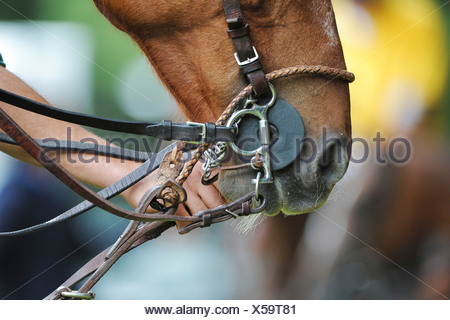 One hand holding the bridle of a polo pony - Stock Photo