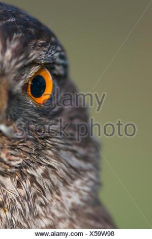 Habicht, Niedersachsen, Deutschland (Accipiter gentilis) - Stock Photo